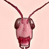 Ροζ Ακρίδες